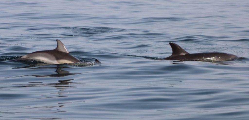 iSea | Καταγράφει και μελετά τα δελφίνια του Θερμαϊκού